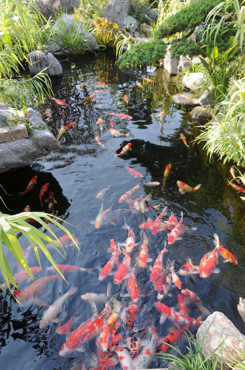 Outdoor for Ornamental pond fish uk