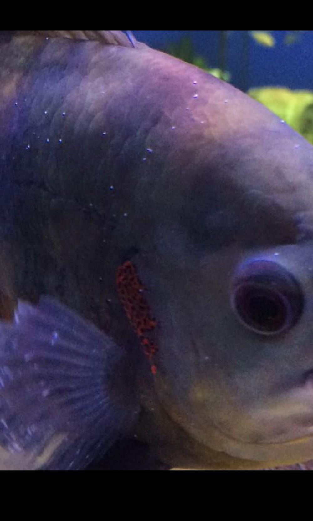 Fish aquarium white spots -  White Spot