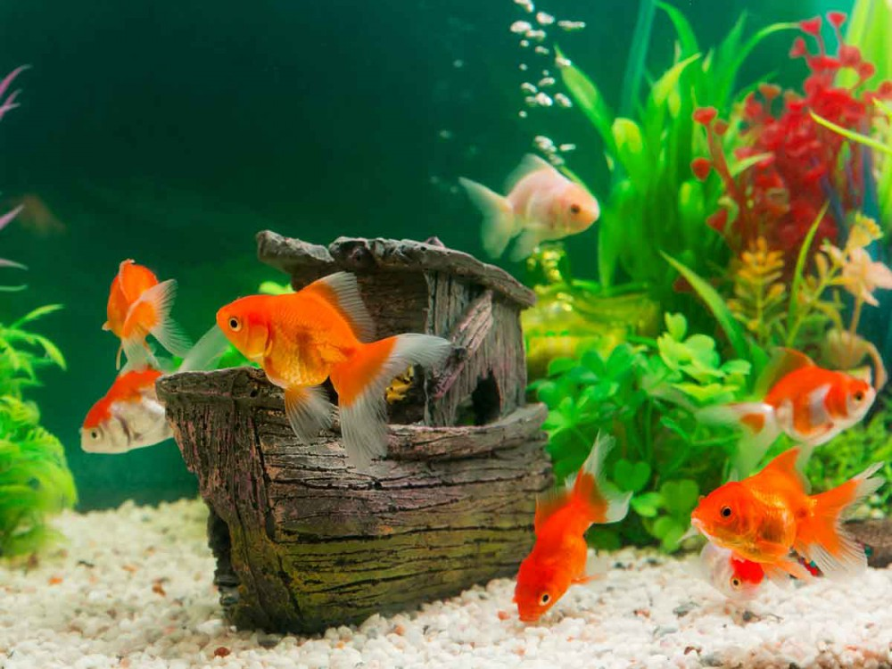 Transcontinental goldfish 39 tips for keeping fancy goldfish for Fancy fish tanks