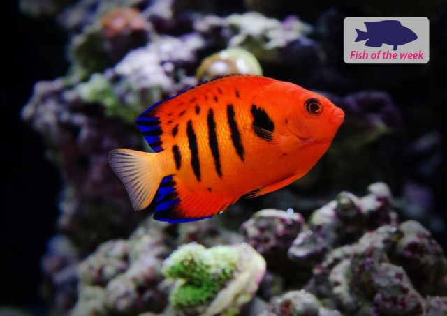 Fire Angelfish