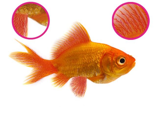 Pinched in abdominal region, reddening of fins