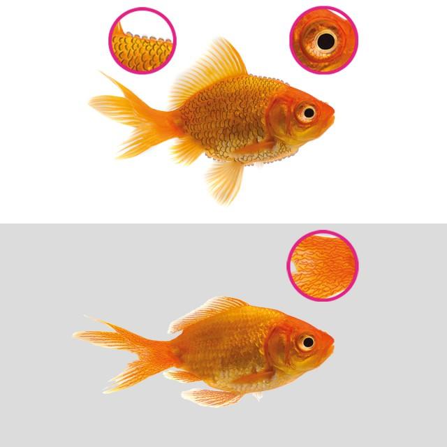 Pop-eye, dropsy, clamped fins, red streaking