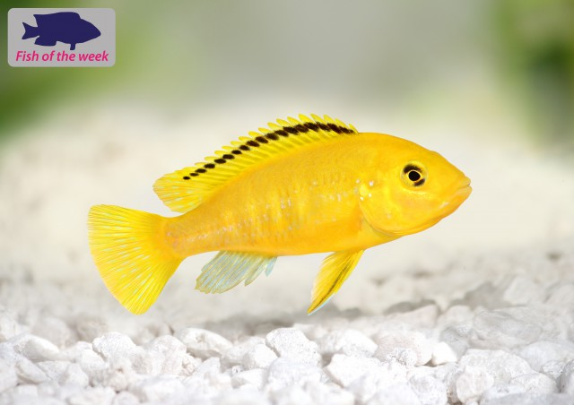 Fish of the Week - Electric Yellow Cichlid