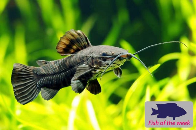 Fish of the Week - Hoplo Catfish