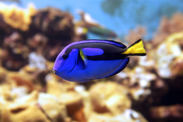 Fish of the week - Blue Tang NT Labs